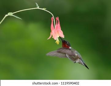 Male Ruby-throated Hummingbird (Archilochus colubris) feeding at a Wild Columbine flower - Ontario, Canada