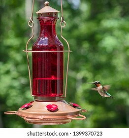 Male Ruby-throated hummingbird drinking nectar from a feeder
