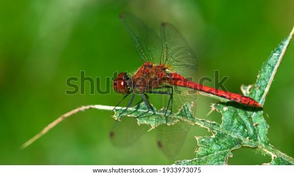 male-ruddy-darter-sunlight-600w-19339730