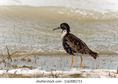 Male ruff on the shore of a salt lake in the Nationalpark Neusiedler See – Seewinkel