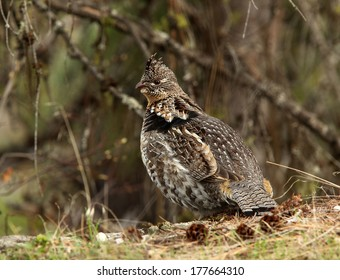 A male ruffed grouse pauses between drumming displays and looks for a potential mate.