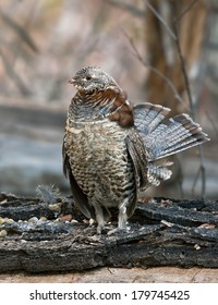 A male ruffed grouse stands on his drumming log with his tail spread and neck ruffs expanded as part of his courtship display.