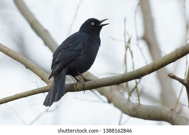 A male Rusty Blackbird perched on a branch singing. Also known as a Rusty Grackle. Colonel Samuel Smith Park, Toronto, Ontario, Canada.