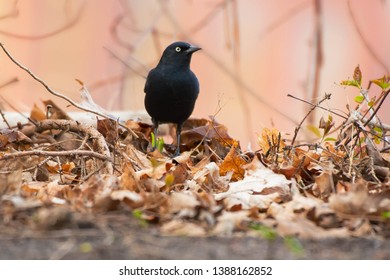 A male Rusty Blackbird standing in the leaf litter on the ground. Also known as a Rusty Grackle. Colonel Samuel Smith Park, Toronto, Ontario, Canada.
