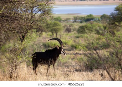 male sable antelope, standing between the bushes in savanna landscape