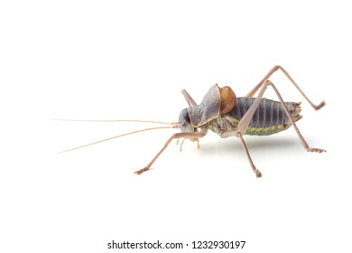 Male of saddle-backed bush cricket (Ephippiger ephippiger)  isolated on white