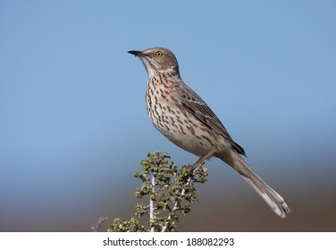 A male sage thrasher perches on top of a sagebrush bush in the arid foothills of eastern Washington.