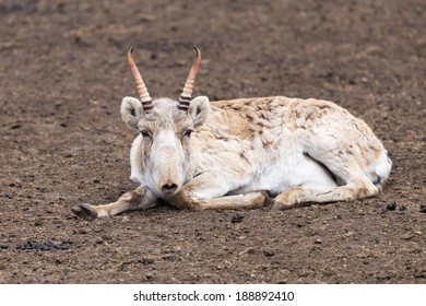 Male saiga antelope (Saiga tatarica) in spring colouration