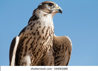 Male saker falcon (Falco cherrug) with his prey after a desert falconry show in Dubai Desert Conservation Centre. Dubai, UAE.
