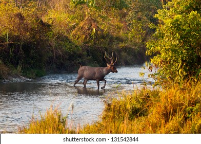 Male Sambar deer crossing a jungle river at Jaldapara Wildlife Sanctuary during the golden hour of sunrise