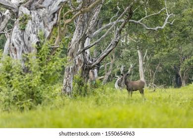 Male sambar deer feeding on the grass land in its habitat with dramatic tree branches on its side.  sambar deer shot at Jim Corbett national park, Uttarakhand.