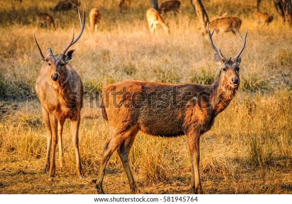 Male Sambar deer looking at the camera