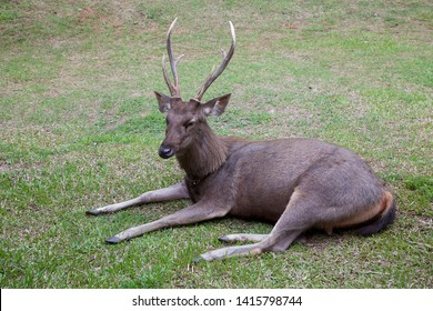 Male sambar deer relaxing on the field.