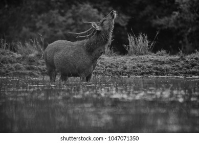 Male Sambar deer standing in nature