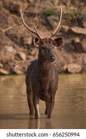 Male sambar deer standing in shallow water
