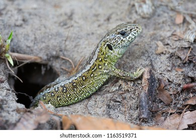 Male sand lizard (Lacerta agilis) in Soest (the Netherlands)
