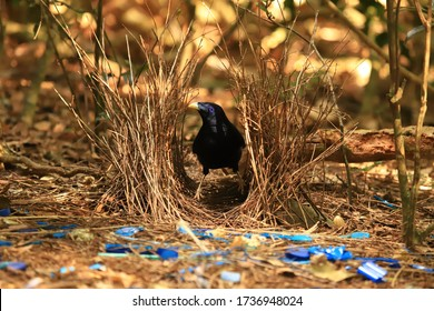 Male Satin Bowerbird in his bower with collected blue objects