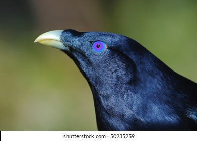 Male Satin Bowerbird in Lamington National Park, Australia