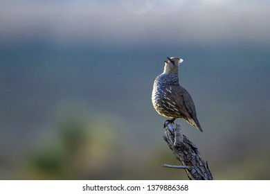 Male Scaled Quail sings at dawn in Organ Mountains-Desert Peaks National Monument in New Mexico