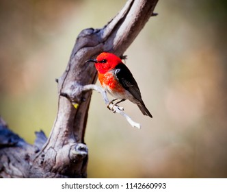 Male Scarlet Honeyeater aka scarlet myzomela, Smallest honeyeater in Australia. Small bird with bright red head and chest and black wings.