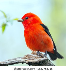 Male Scarlet Tanager in breeding plumage. Magee Marsh Wildlife Area. Oak Harbor. Ohio. USA