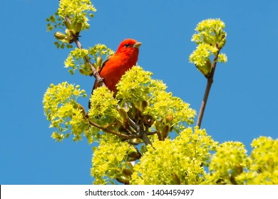 Male Scarlet Tanager perched high up in the top of a tree. Ashbridges Bay Parh, Toronto, Ontario, Canada.