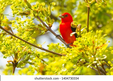 Male Scarlet Tanager perched high up in a tree. Ashbridges Bay Park, Toronto, Ontario, Canada.