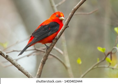 Male Scarlet Tanager perched on a branch. Ashbridges Bay Park, Toronto, Ontario, Canada.