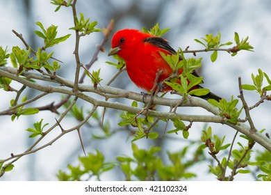 Male Scarlet Tanager perched on a branch.