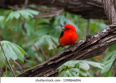 Male Scarlet Tanager photographed near the forest floor in a patch of May apples.