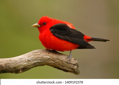 Male Scarlet Tanager (Piranga olivacea) - Ontario, Canada