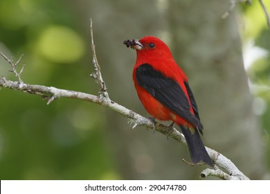 Male Scarlet Tanager (Piranga olivacea) eating mulberries during a migration stopover - High Island, Texas