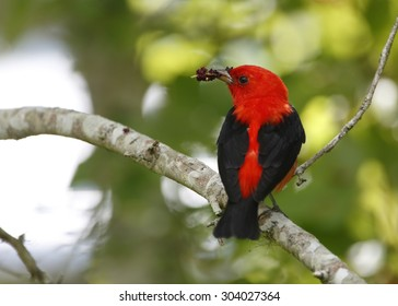 Male Scarlet Tanager (Piranga oliveacea) Eating Mulberries on a Migratory Stop Over - High Island, Texas