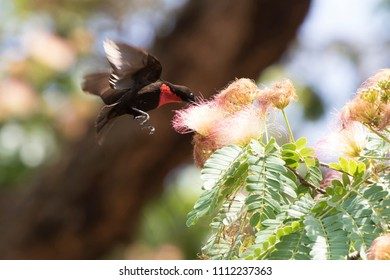 male Scarlet-chested Sunbirds that hovers over the flower and drinks nectar