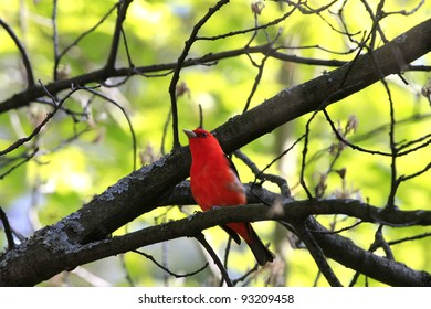 Male Scarlett Tanager on a branch