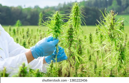male scientist on a medical cannabis plantation