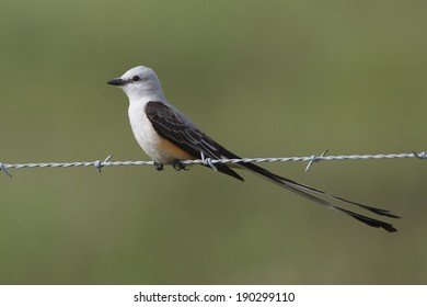 Male Scissor-tailed Flycatcher (Tyrannus forficatus) Perched on Fence Wire - Texas