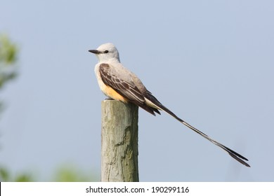 Male Scissor-tailed Flycatcher (Tyrannus forficatus) Perched on Fence Post - Texas