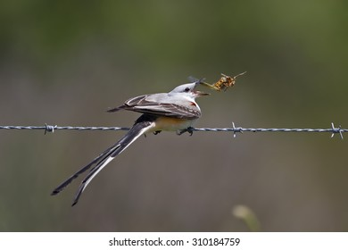 Male Scissor-tailed Flycatcher (Tyrannus forficatus) Perched on a Barbed Wire Fence Eating a Locust - Texas