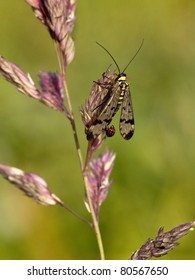 a male scorpion fly panorpa communis resting on a flower