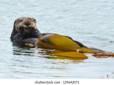 male sea otter is seen cleaning his fur with kelp on a cold rainy day in bug sur, california, usa