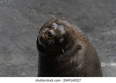 Male seal looking at the camera - Shutterstock ID 2049140327