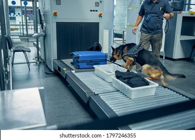 Male security worker and German Shepherd dog checking travel suitcase while searching for drugs or other illegal items