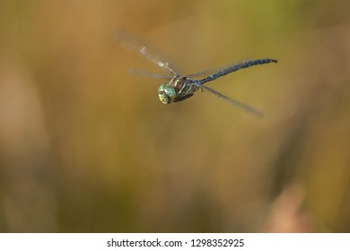Male Shadow Darner Dragonfly in flight. Algonquin Provincial Park, Ontario, Canada.