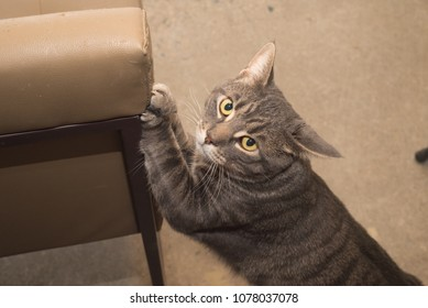 Male shelter cat destroying furniture with front claws