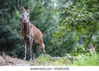 Male siberian musk deer with long fangs. Portrait of cute musk deer with terrible sharp tusks in summer forest.