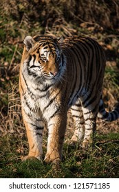 male siberian tiger standing in forest clearing/Tiger