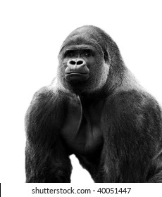Male Silverback Gorilla cut out to white background - Path included
