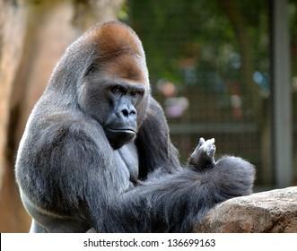 Male Silverback gorilla zoo portrait