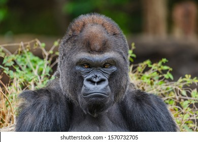 Male Silverback Western Lowland gorilla (Gorilla gorilla gorilla) staring at the camera